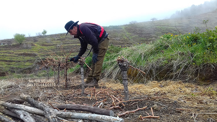 El viticultor Mateo Camacho realiza una poda corta en su viña. |  FOTO YURI MILLARES